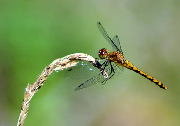 Whitefaced Meadowhawk Dragonfly Poster featuring the pyrography Waiting for Dinner by Sally Sperry