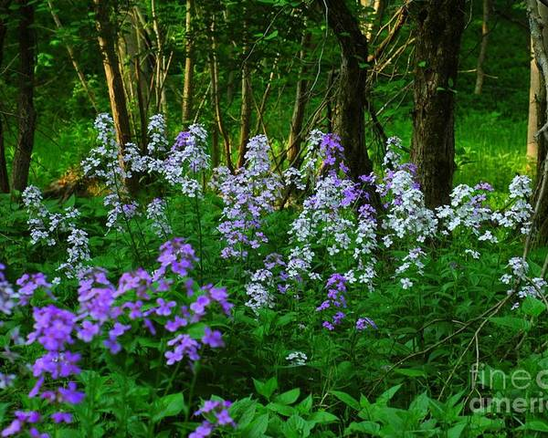 Wildflower Poster featuring the photograph Walk In The Woods by Kathleen Struckle