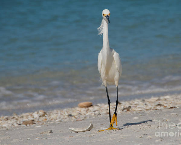 Snowy_egret Poster featuring the photograph Walk This Way by Cathy Fitzgerald