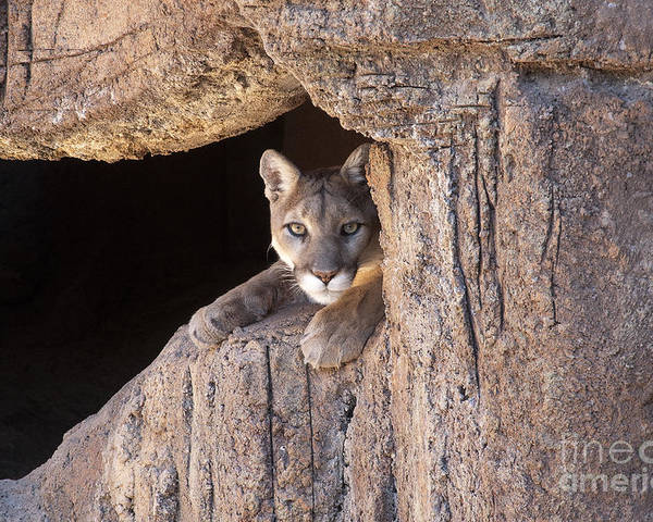 Cougar Poster featuring the photograph Watchful Eyes by Sandra Bronstein