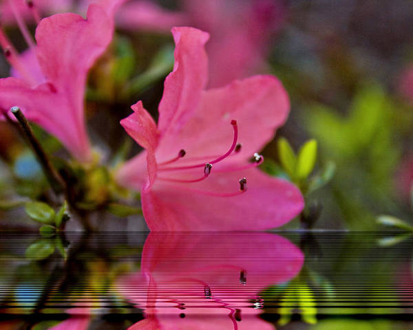 Water Poster featuring the digital art Water Azalea by Ches Black