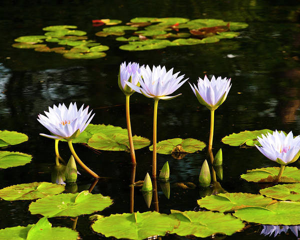 Flowers Poster featuring the photograph Water Lilies 1 by Greg Plachta