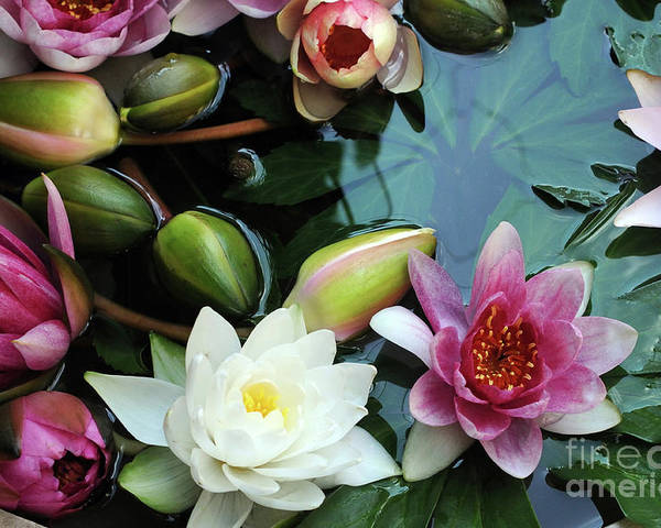 Lily Poster featuring the photograph Water Lilly by Haleh Yaghmai