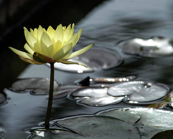 Water Lily Poster featuring the photograph Water Lily And Silver Leaves by Dubi Roman