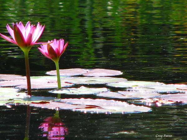 Patzer Poster featuring the photograph Water Lily by Greg Patzer