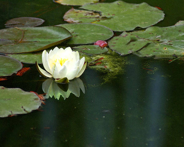 Lily Poster featuring the photograph Water Lily by Heather Coen