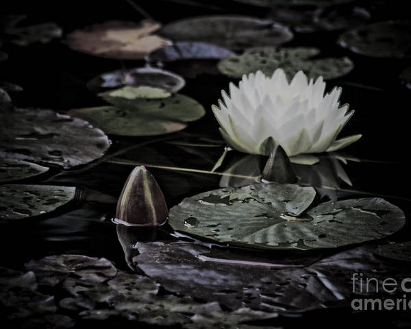 Water Poster featuring the photograph Water Lily Iv by Marta Grabska-Press