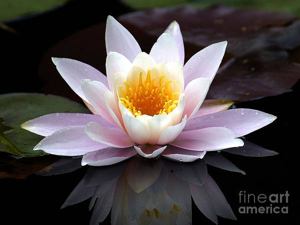 Waterlily Poster featuring the photograph Water Lily With Reflection by Neil Doren