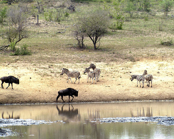 Zebra Poster featuring the photograph Watering Hole by Charles Ridgway