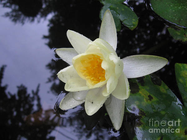 Waterlily Poster featuring the photograph Waterlily by Patricia Januszkiewicz