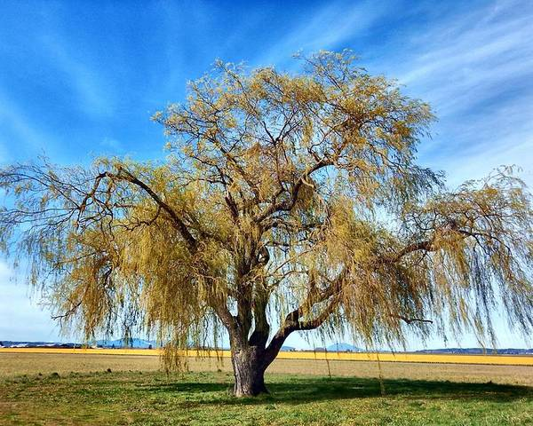 Willow Poster featuring the photograph Weeping Willow by Jim Romo