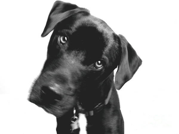 Labrador Poster featuring the photograph What by Amanda Barcon