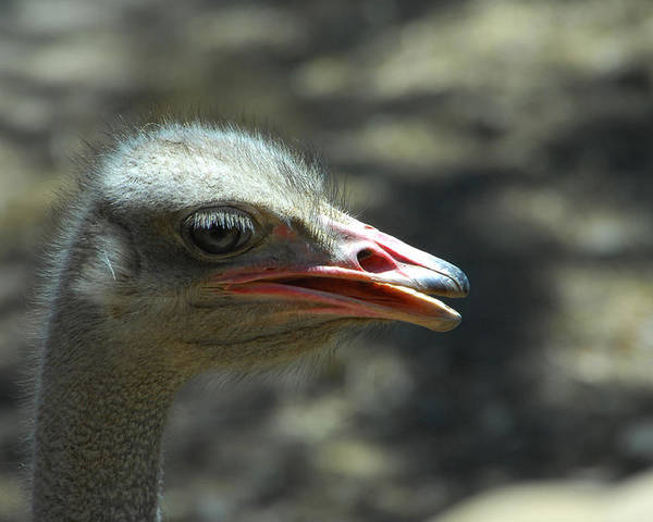Ostrich Poster featuring the photograph Where's The Sand by Donna Blackhall