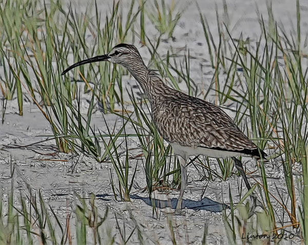 Whimbrel Poster featuring the digital art Whimbrel by Larry Linton