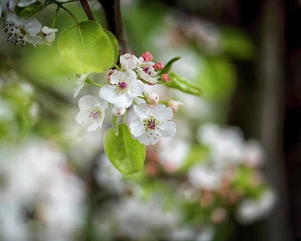 Designboardphotography Poster featuring the photograph White Apple Flowers by DesignBoard Photography