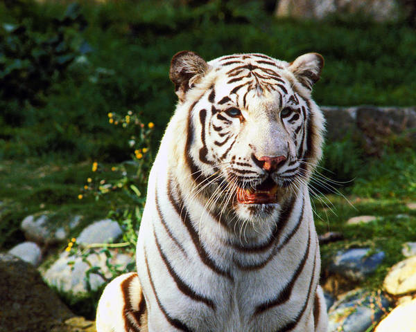 White Poster featuring the photograph White Bengal Tiger by Garry Gay