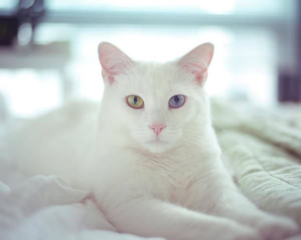 Horizontal Poster featuring the photograph White Cat Laying On Comfy Bed by by Dornveek Markkstyrn