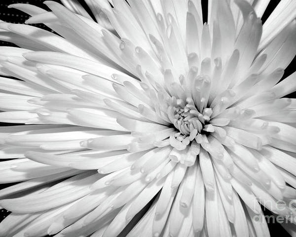 Nature Poster featuring the photograph White Chrysanthemum by Julia Hiebaum
