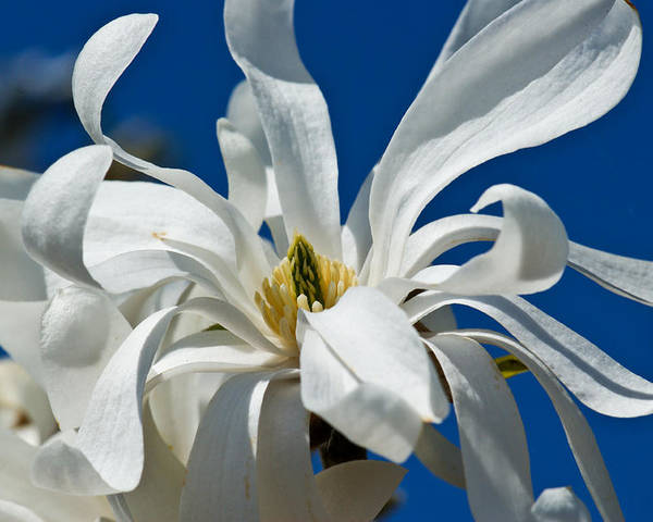 Botanical Poster featuring the photograph White Flower Blue Skies by Edward Myers