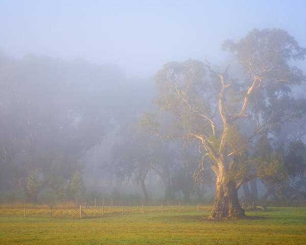 Tree Poster featuring the photograph White Gum Morning by Mike Dawson