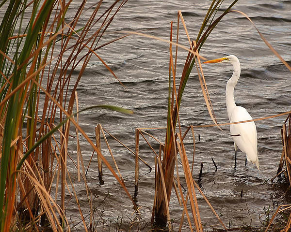 White Heron Poster featuring the photograph White Heron by Mandy Wiltse