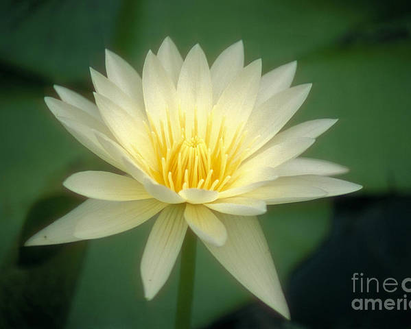 Anther Poster featuring the photograph White Lily by Ron Dahlquist - Printscapes