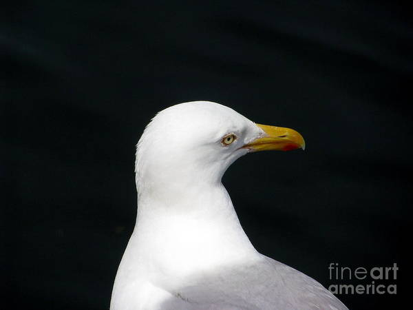Seagull Poster featuring the photograph White On Black by Lisa D'Adamo-Weinstein