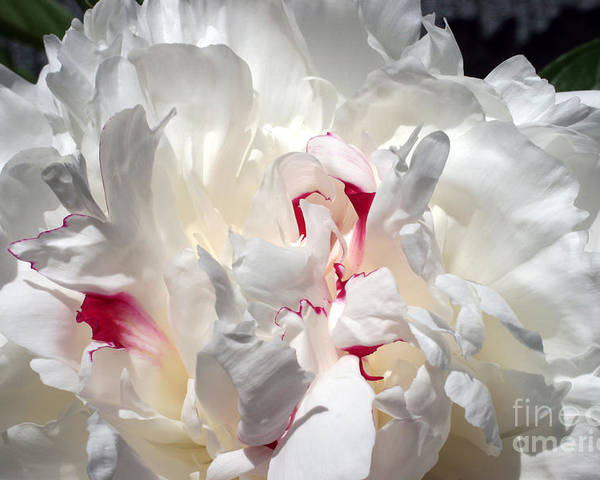 Peony Poster featuring the photograph White Peony And Red Highlights by Steve Augustin