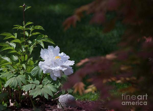 White Poster featuring the photograph White Peony by David Bearden
