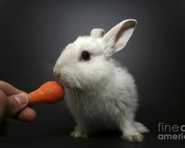 White Poster featuring the photograph White Rabbit by Yedidya yos mizrachi