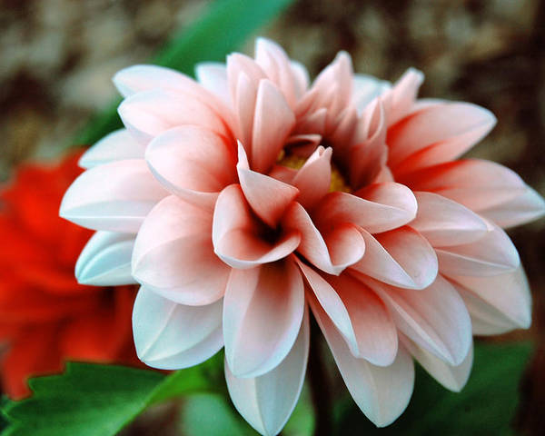 Flower Poster featuring the photograph White Red Flower by Jame Hayes
