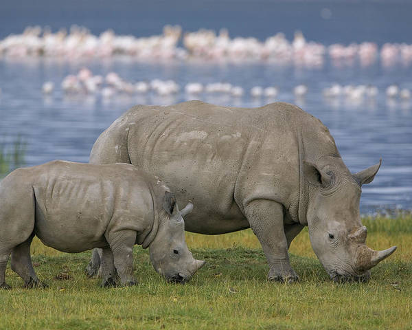 Mp Poster featuring the photograph White Rhino Mother And Calf Grazing by Ingo Arndt