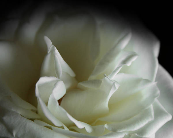 Rose Poster featuring the photograph White Rose by Sally Engdahl