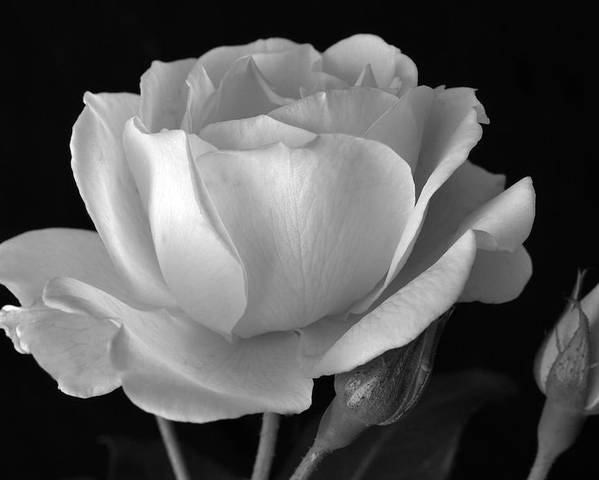 White Rose Poster featuring the photograph White Rose by Terence Davis