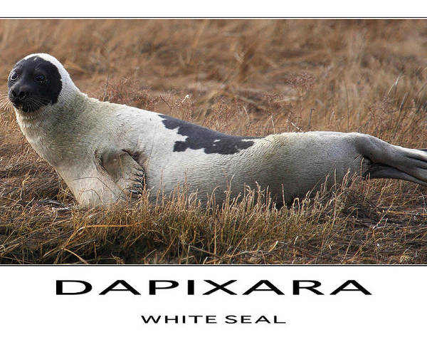 Seal Poster featuring the photograph White Seal by Dapixara Art