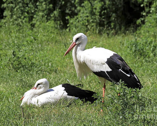 Bird Poster featuring the photograph White Storks by Teresa Zieba