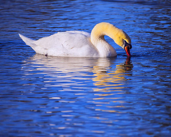 Swan Poster featuring the photograph White Swan Drinking Water In A Pond by Vishwanath Bhat