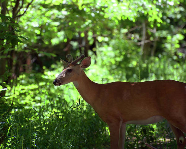 White Tailed Deer Poster featuring the photograph White Tailed Buck by Linda Kerkau
