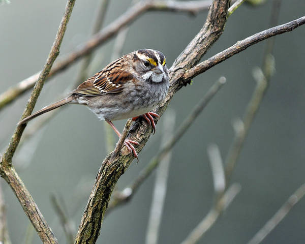 White Throated Sparrow Poster featuring the photograph White Throated A Sparrow by Laura Mountainspring
