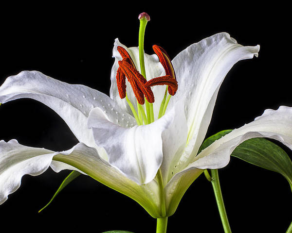 White Tiger Lily Poster featuring the photograph White Tiger Lily Still Life by Garry Gay