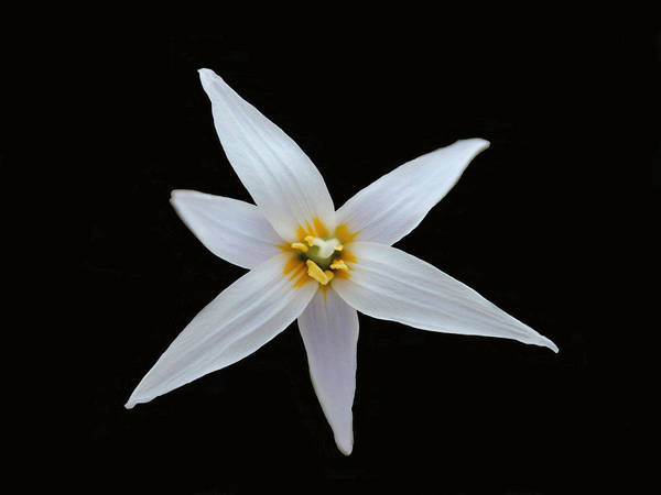 Trout Lily Poster featuring the photograph White Trout Lily by Dennis Buckman