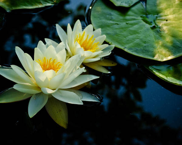 New Jersey Poster featuring the photograph White Water Lilies by Louis Dallara