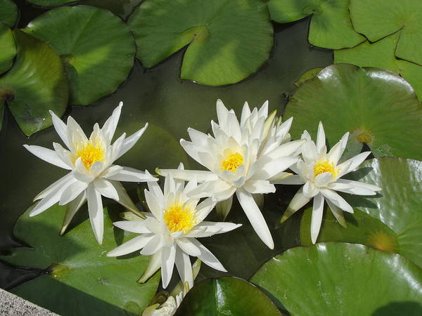 Garden Poster featuring the photograph White Waterlilies by Mafalda Cento