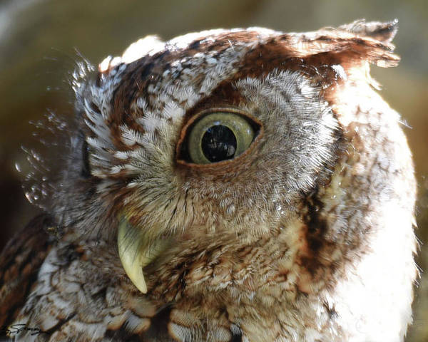 Screech Owl Poster featuring the pyrography Wide Eyed Screech Owl by Sally Sperry