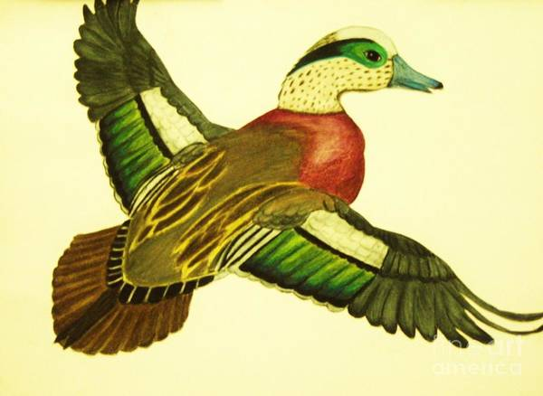 Wild Duck Drawings Poster featuring the drawing Wild Duck by Jamey Balester