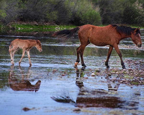 Wild Horses Poster featuring the photograph Wild Horse And Foal Cross Salt River by Dave Dilli