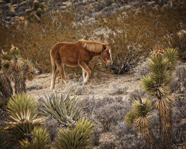 Nevada Poster featuring the photograph Wild Horse At Cold Creek by Mitch Spence