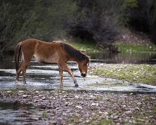 Wild Horses Poster featuring the photograph Wild Horse Crosses Salt River by Dave Dilli