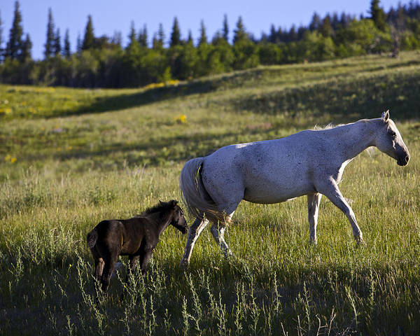 Horses Poster featuring the photograph Wild Horses Near Glacier National Park by Richard Steinberger