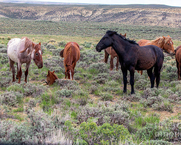 White Mountain Poster featuring the photograph Wild Horses Of White Mountain by Rodney Cammauf